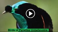 Birds of Paradise Unbelievable Video