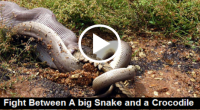 Fight Between A big Snake and a Crocodile, snakes videos, big snakes, video on snakes, big snake pictures