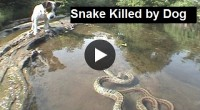Snake Killed by Dogs , kinds of snakes