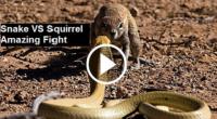 Snake VS Squirrel , snakes videos, big snake